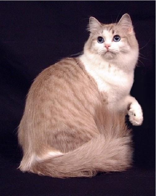 Todas las razas de gatos que existen!